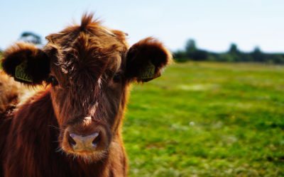 La estupenda carne Asturiana